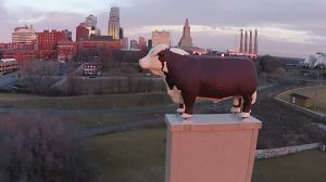 kansas-city-hereford-cow